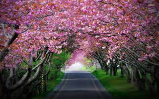 Cherry Bloosom Tree cherry blossom tree wallpaper wallpaper