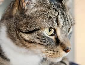 feline colitis an infection in the colon