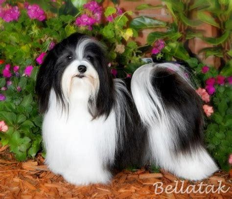 perro havanese 10 de las razas de perros m 225 s amistosas mundo foro de mascotas