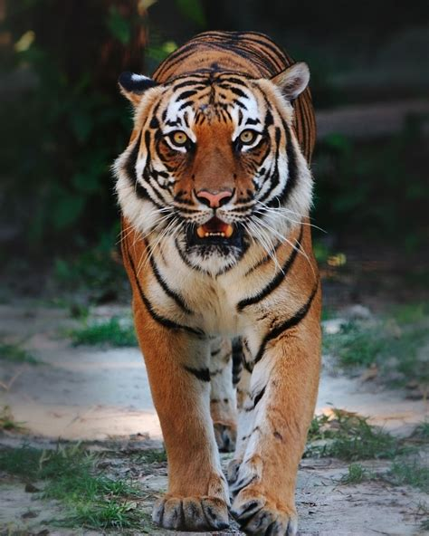 the tiger who would malaysian s pride pbf blog