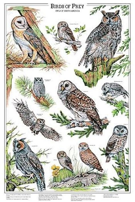 birds of prey scripts and owl on pinterest