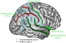 angular gyrus wikipedia