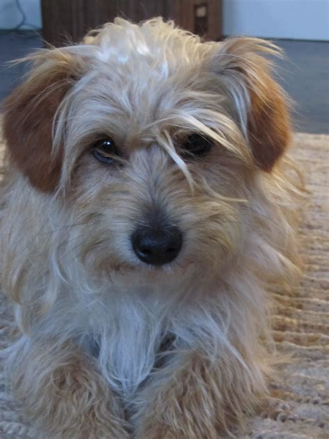 scruffy puppy 1000 images about scruffy dogs on terriers dogs and cairn terriers