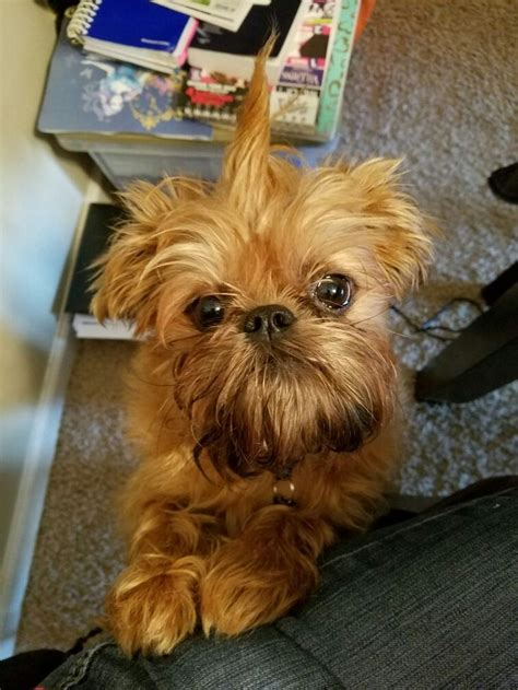 pug breeders nyc best 20 brussels griffon puppies ideas on griffon bruxellois