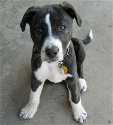pitbull border collie mix puppy border collie american pit bull terrier mix i think i finally found what of