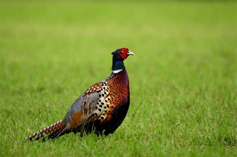 how to a pheasant how to feed pheasants in winter
