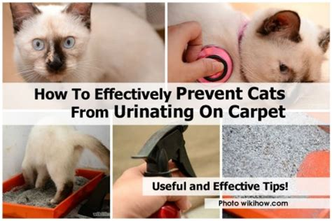 How To Stop Cat From On Rug how to effectively prevent cats from on carpet