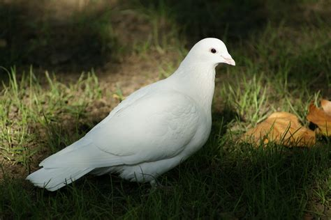 images of doves free photo dove bird spirituality free image on