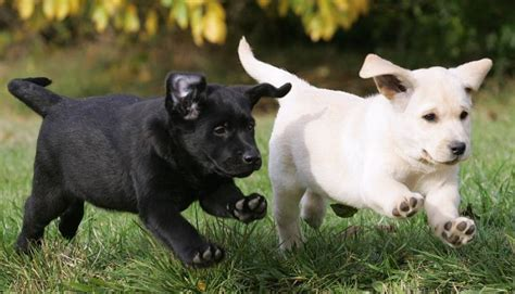 puppies running running labrador puppies labradors picture