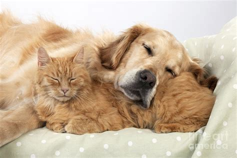 cat and golden retriever golden retriever and orange cat photograph by