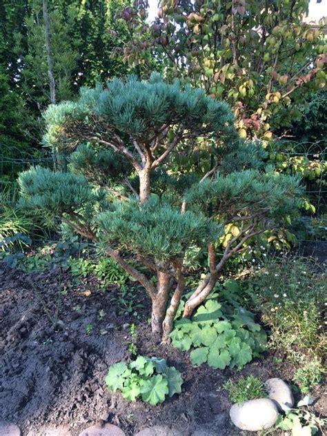 Garten Pflanzen Hamburg by Garten Bonsai M 228 Dchen Kiefer Pinus Parviflora In Hamburg