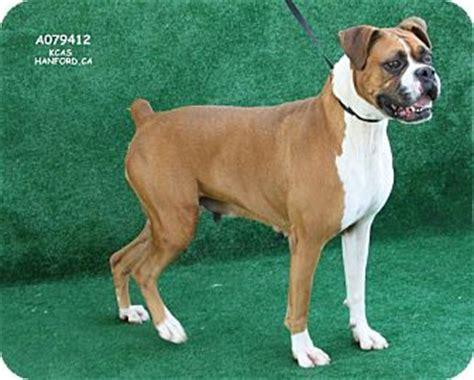 puppies for adoption reno nv reno nv boxer meet delta a for adoption