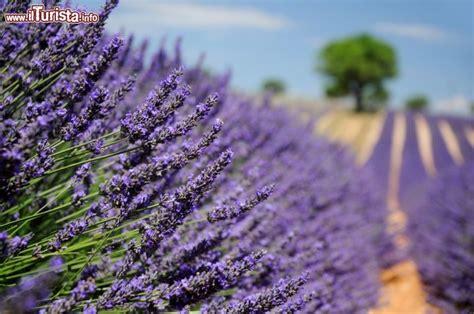 fiori di provenza le feste della lavanda in provenza nei paesi lungo la