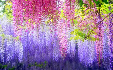 wisteria flower orchids flowers