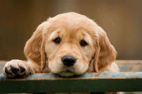 sad golden retriever puppy 45 most beautiful golden retriever photos golfian