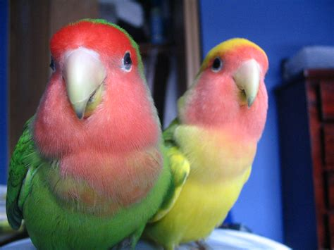 peach faced lovebirds wild type and pied green mutation