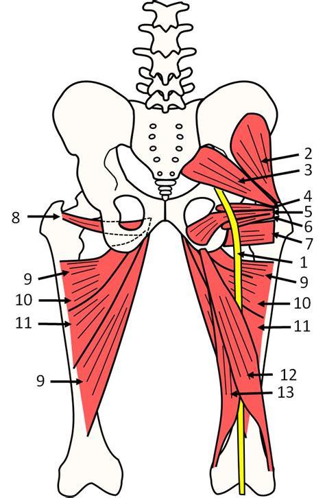 sciatic nerve diagram anatomy pelvis sciatic nerve piriformis healthier
