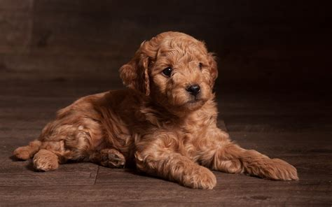 mini doodle tn poodles puppies for sale reviews and photos breeds