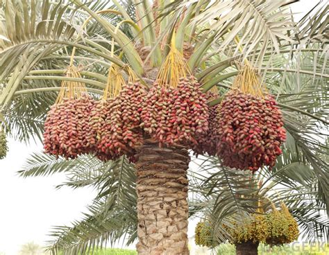 palm tree fruit name dabino or date fruits unsung healthy nuts of the deserts