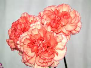 carnation colors color carnation flowers 171 wallpaper tadka