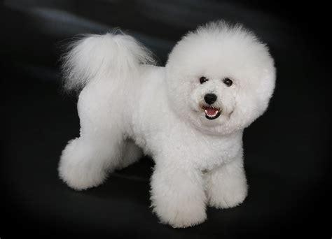 bichon puppy bichon frise
