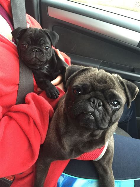 pugs for sale liverpool pug pup for sale liverpool merseyside pets4homes