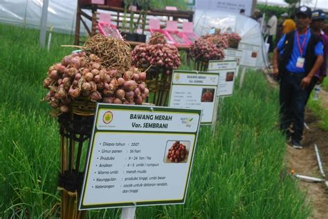 Benih Bawang Merah Di Nganjuk bisnis kementan akan sebar benih bawang merah di lahan 7 000 hektare
