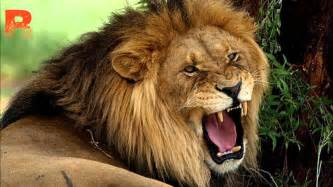 lions roar lions and long distance vocals is it safe the science