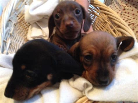 mini doxie puppies for sale mini dachshund pups for sale bridgend bridgend pets4homes