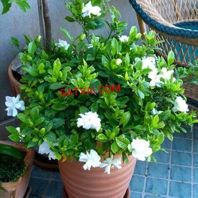 gondhoraj flower plant home delivery  bangladesh