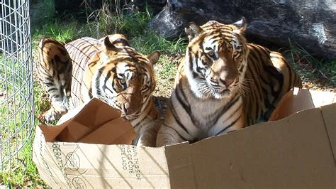 big cats like boxes too youtube