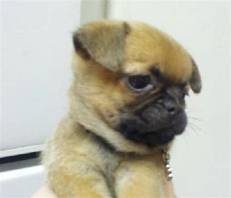 buffalo pug small breed rescue buffalo pug small breed rescue inc pearl s page