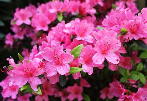 Indoor Flower Plants by Azaleas And Rhododendrons Extension Daily