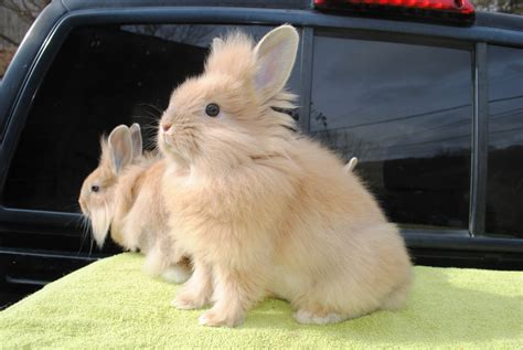 breeds for sale lionhead rabbits for sale in nc usa rabbit breeders