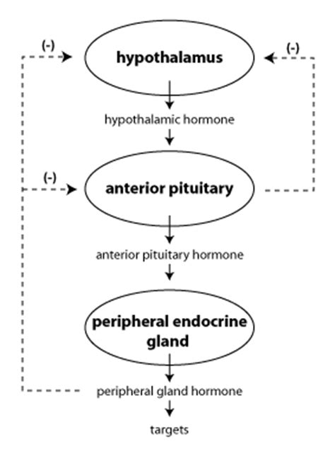 negative feedback regulation of hormone release in the