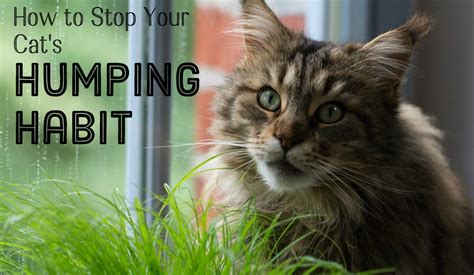 i let my hump me why is my neutered cat and how do i stop it pethelpful