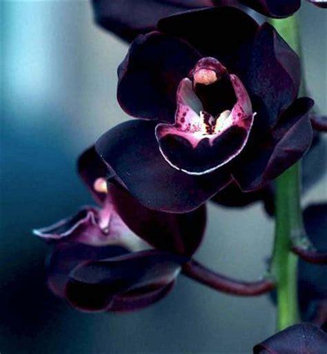 Black Orchid by 25 Best Ideas About Black Orchid On Unique