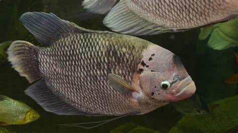 Jual Kolam Terpal Gurame cara budidaya ikan gurame di kolam terpal dan tembok