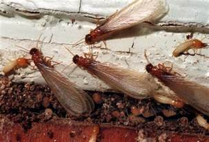 Bed Bug Facts Termite Pictures Termite Photo Gallery Truly Nolen
