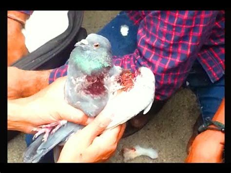 pigeon bird rescue injured during kite flying uttarayan