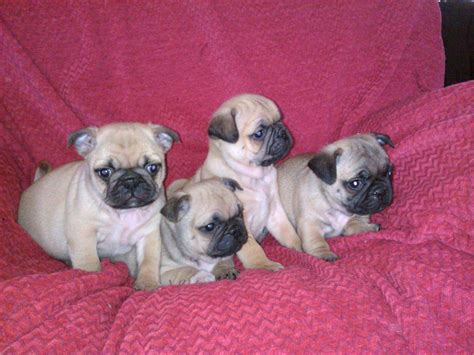 pug puppies for sale in swansea gorgeous 3 4 pug puppies for sale swansea swansea pets4homes