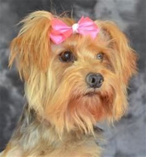 yorkie rescue nm 17 best ideas about terrier rescue on yorkie puppies yorkie and