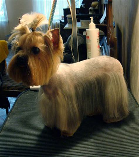 joypia yorkshire haircuts joypia yorkshire haircuts 343 best dog grooming images