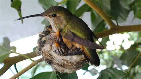 watch baby hummingbirds hatch grow on live webcam mnn
