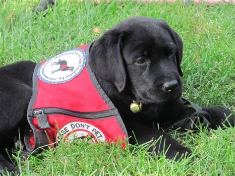 how to service dogs as a career in chicago for service dogs breeds picture