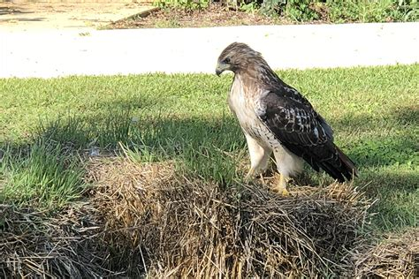 red tailed hawk hanging    outdoor classroom