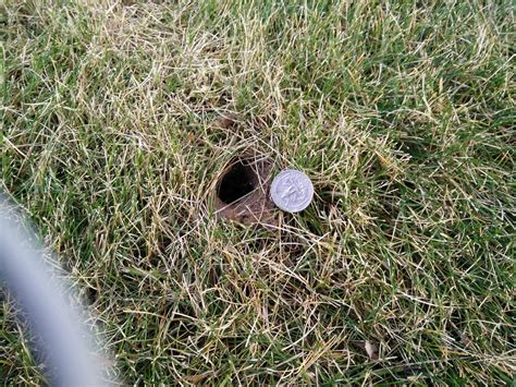 small holes in backyard what made these burrows and holes in my lawn picture