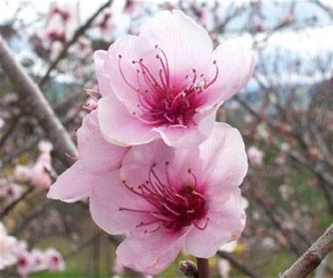 fiore rosa significato significato fiori rosa linguaggio dei fiori
