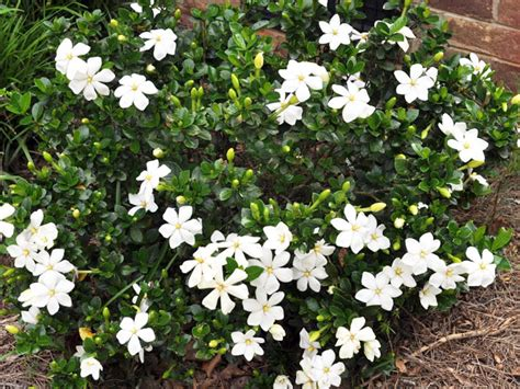 Gardenia Shrub Shrubs Click Pictures For Larger Images Ponseti