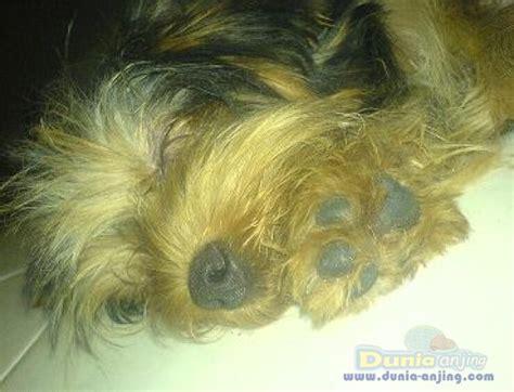 Rantai Anjing Murah dunia anjing jual anjing terrier puppy lucu imut2 murah